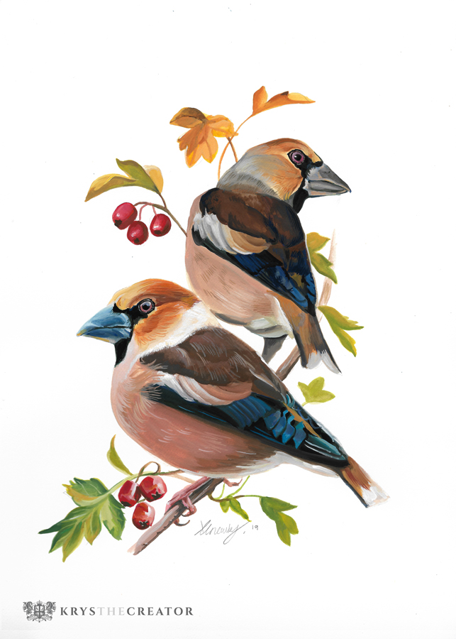 Gouache painting of two Hawfinch perched in a hawthorn tree