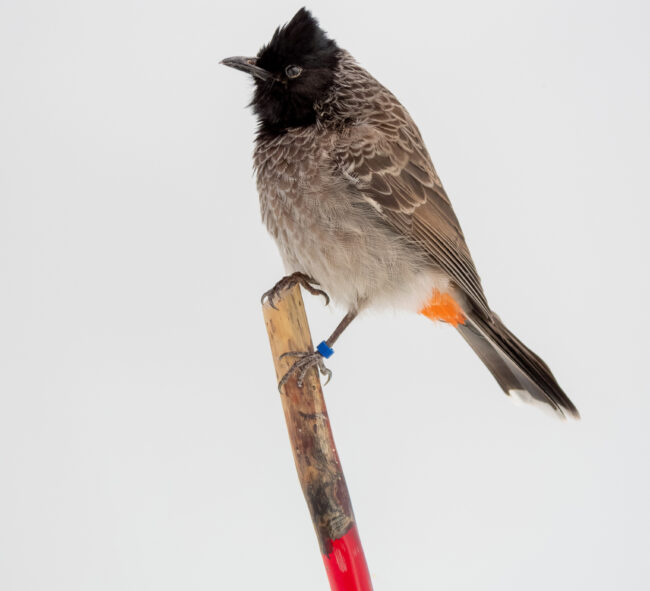 Red Vented Bulbul Taxidermy