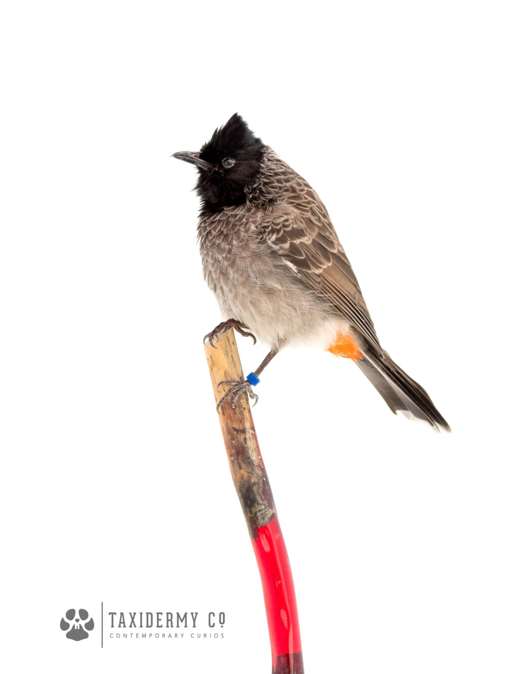 Taxidermy Red Vented Bulbul
