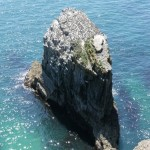 Sea stack with guillemots