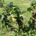 first crop
