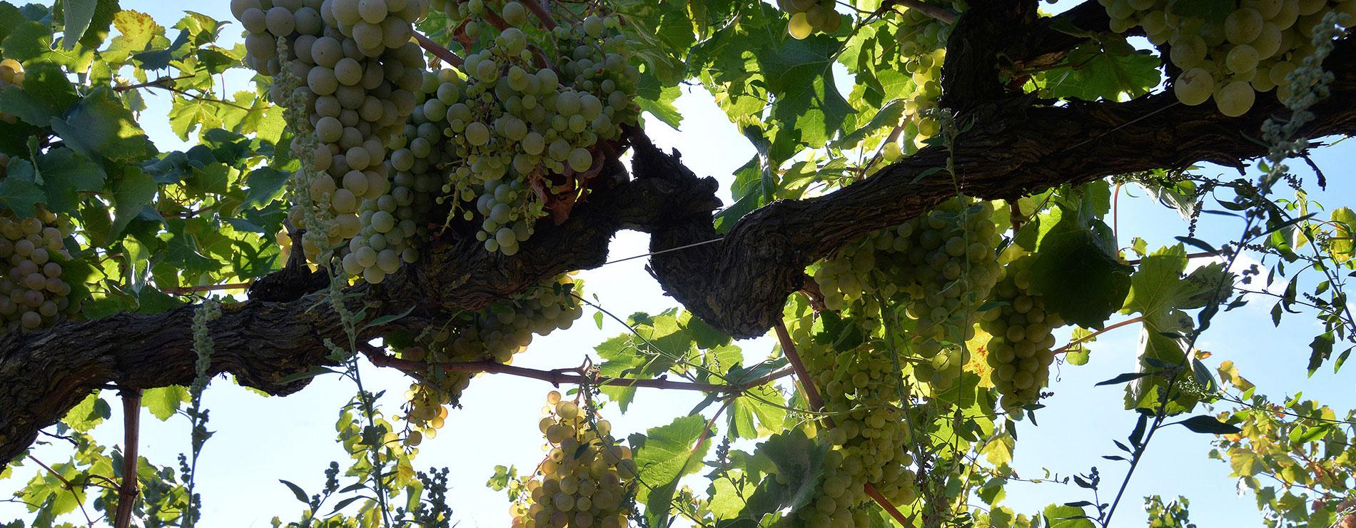 Vineyard banner