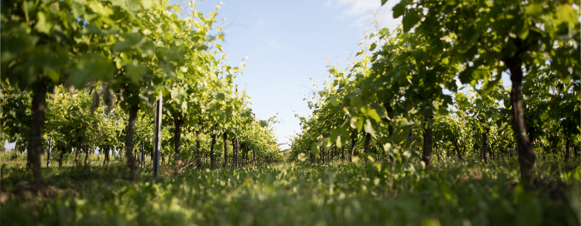 Zonin Vineyards