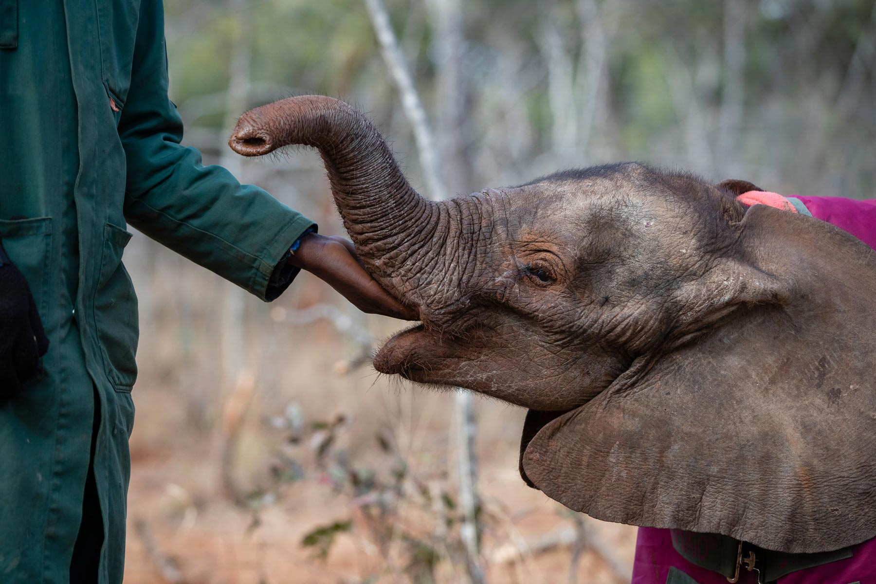 Baby elephant eating from elephant keepers hand at Game Rangers International in Zambia
