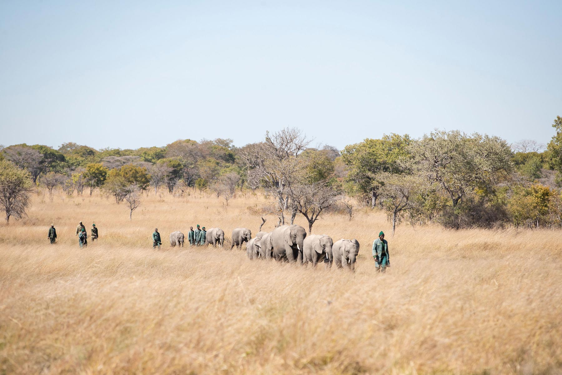 Game Rangers International keepers and rangers walking with elephants in Zambia.