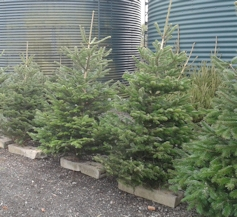Christmas Trees for sale at Peaks Top Farm
