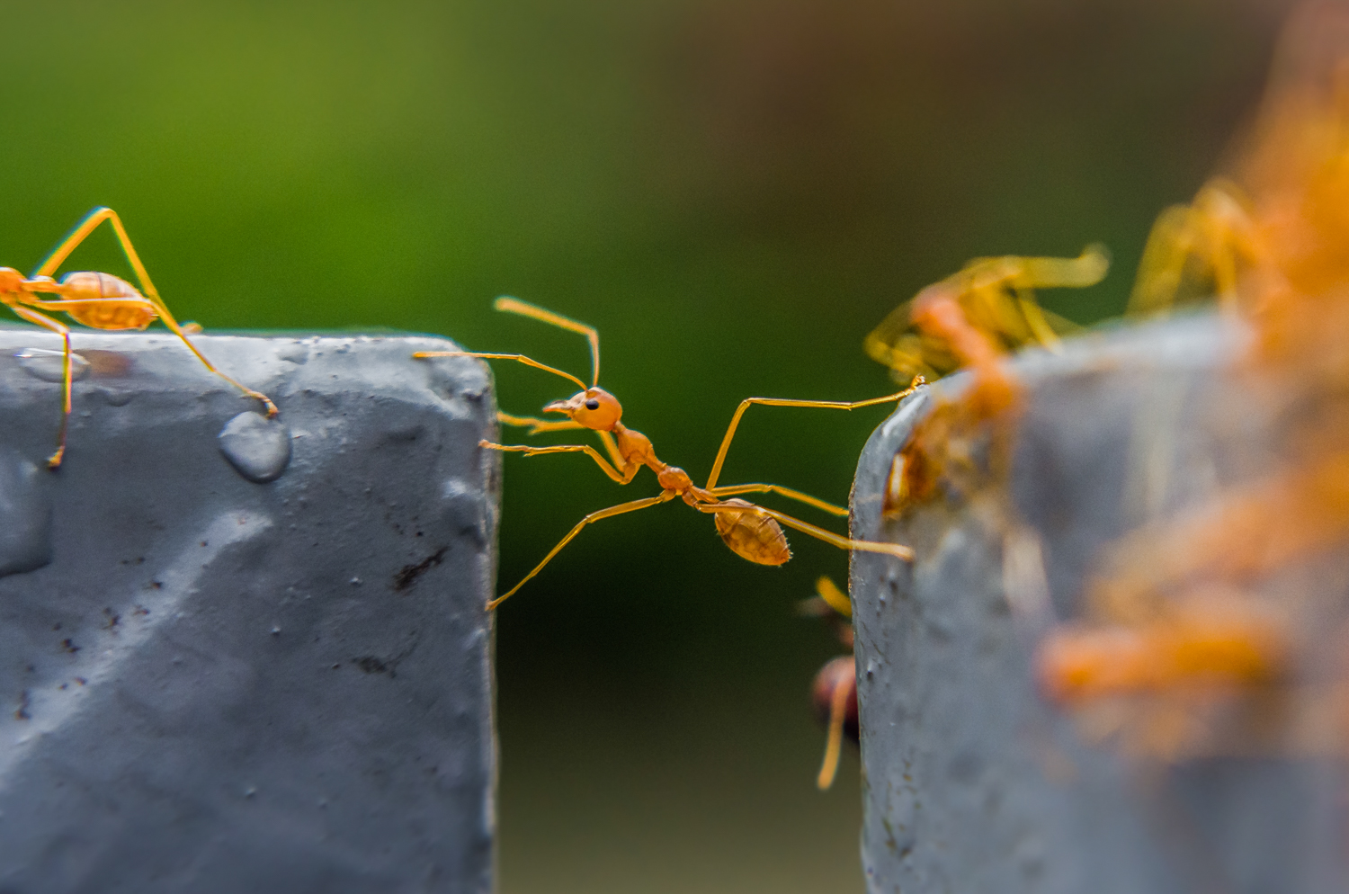 The Ant with an Attitude