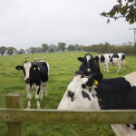 Shaw Renewables Biomass dairy farm Biogas renewable energy