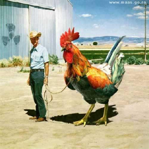 Texas_Chicken