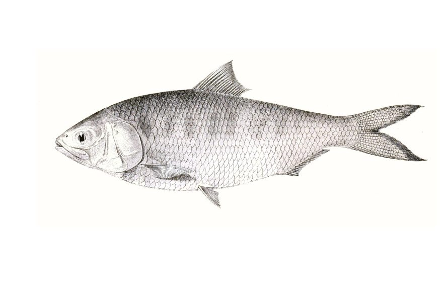 Winter is Coming, and so are the Hilsa