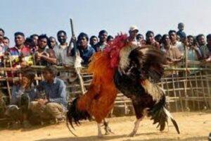 cockfighting1