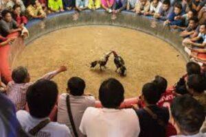 cockfighting2