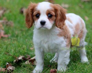 1556080643 cavalier king charles spaniel puppy
