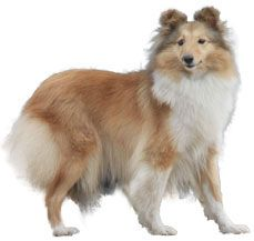 sheetland sheep dog