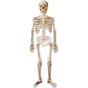 1 Skelett