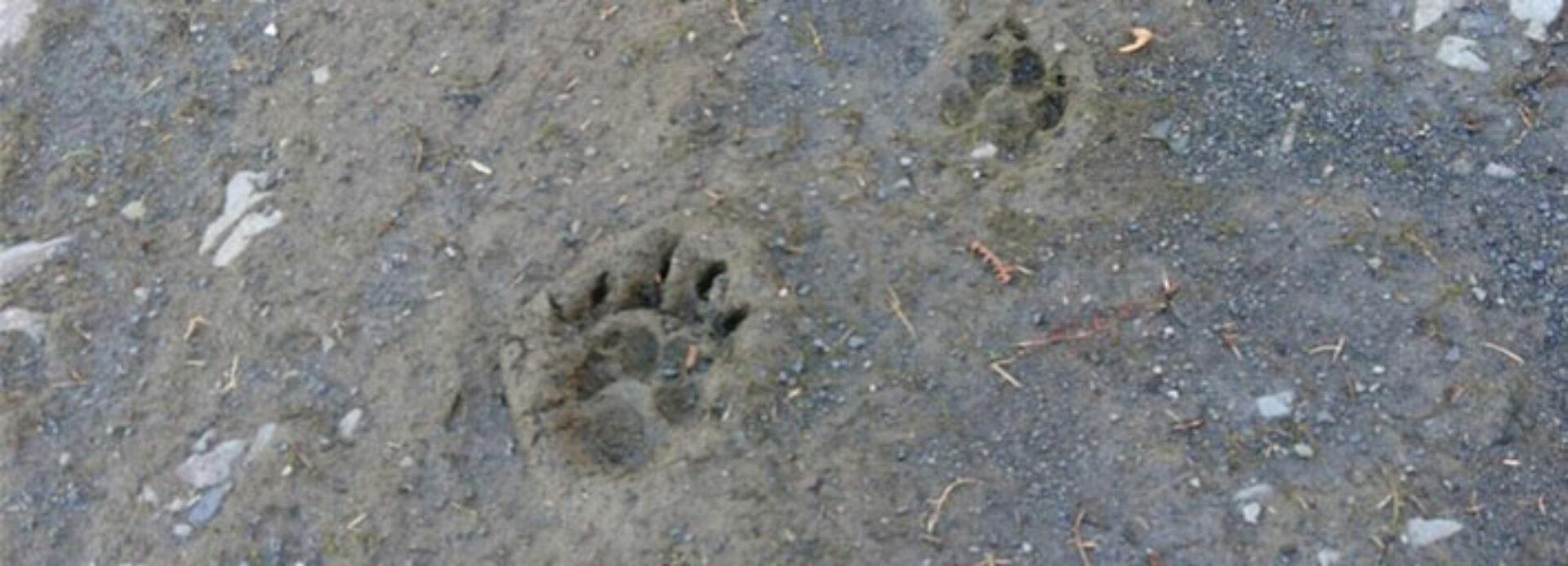 Badger Ecology UK