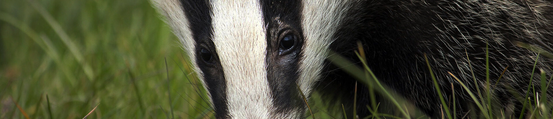 Badger Ecology Wales