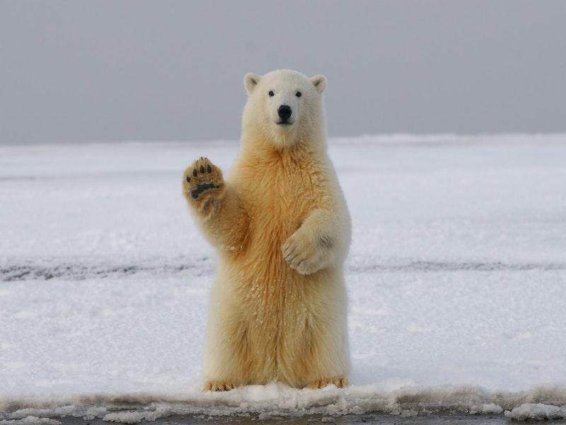Has the Idea of Polar Bears Becoming Extinct Done More Harm ThanGood?