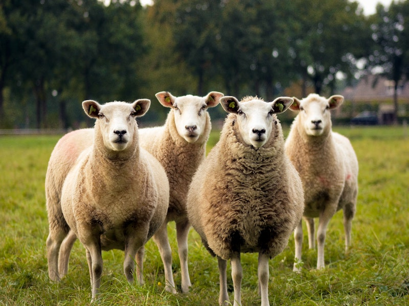 Are People Behaving Like Sheeple the Cause of the ClimateCrisis?