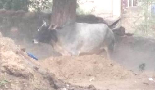 गाय के हमले से