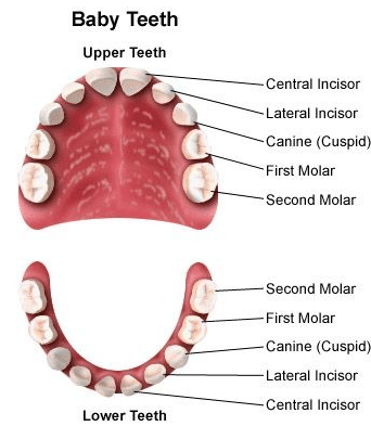 How many milk teeth does a child have? - Pediatric dentists at Little pearls dentistry.