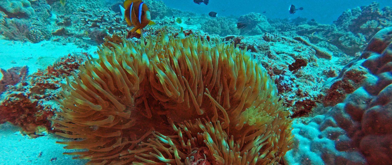 Brisbane diving anemone