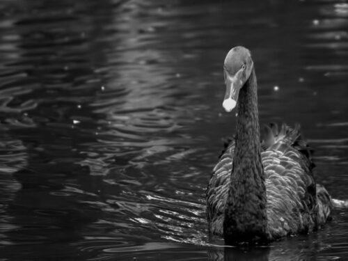 Black Swans event