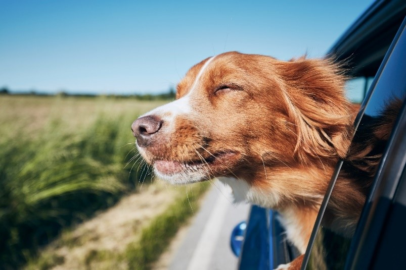 A dog sticking his head out of a car  Description automatically generated