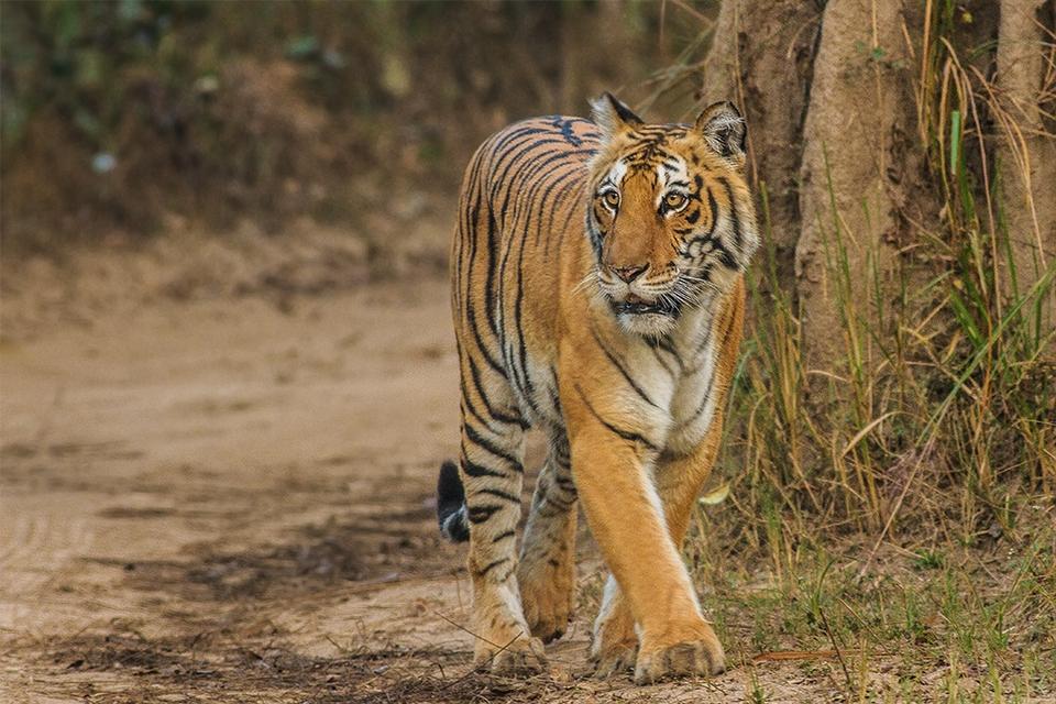 Bengal Tiger, Corbett Uttarakhand