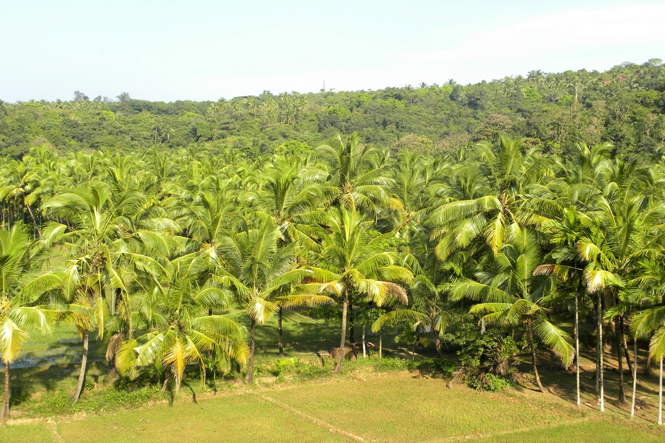 Coconut trees and paddy field