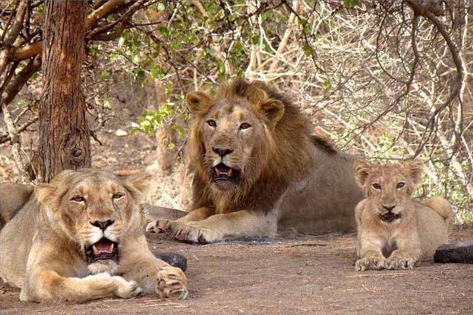 Gir lion, Gir forest