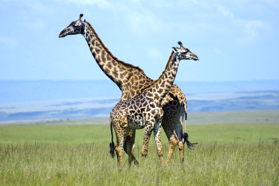 Giraffes Masai Mara