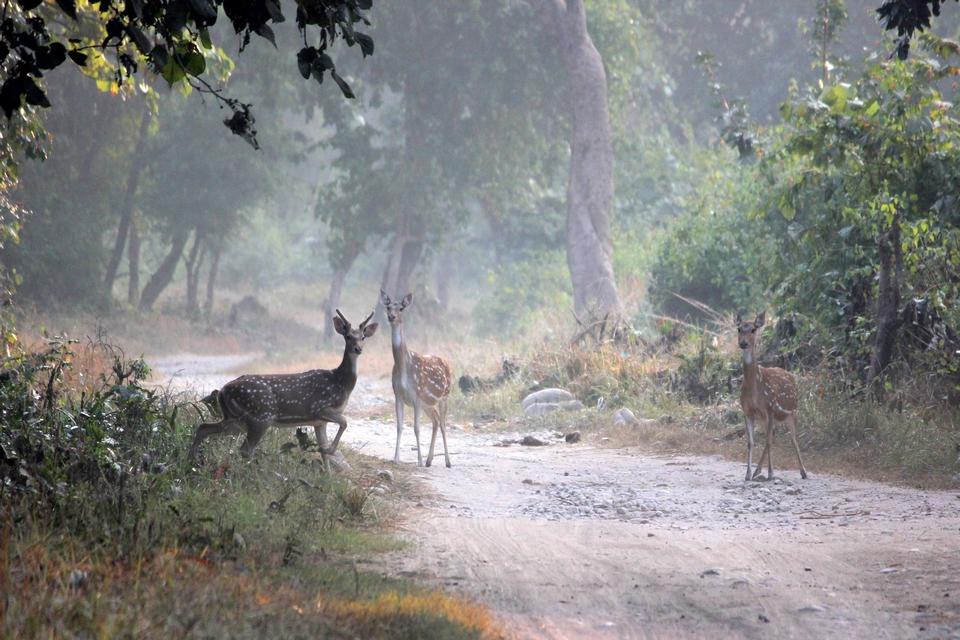 Spotted deers Jim Corbett National Park