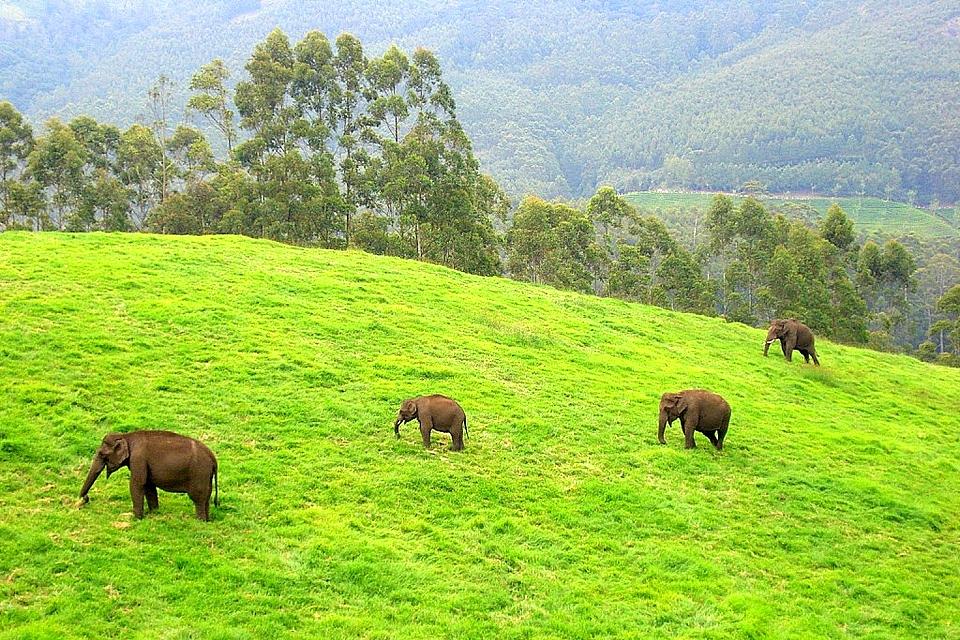 Wild Elephants, Munnar
