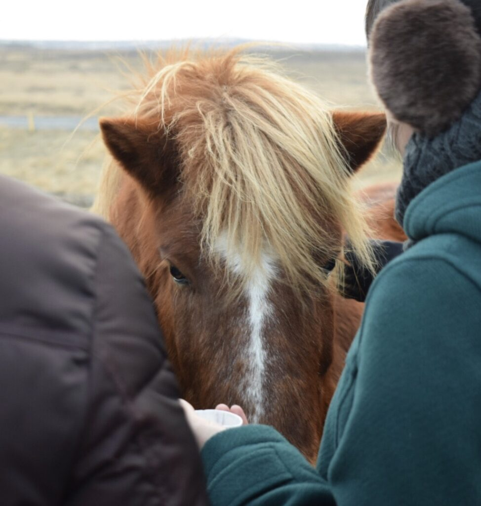 Two people feeding an Icelandic horse with a red coat and a blonde mane, a fun thing to do in Iceland in winter.