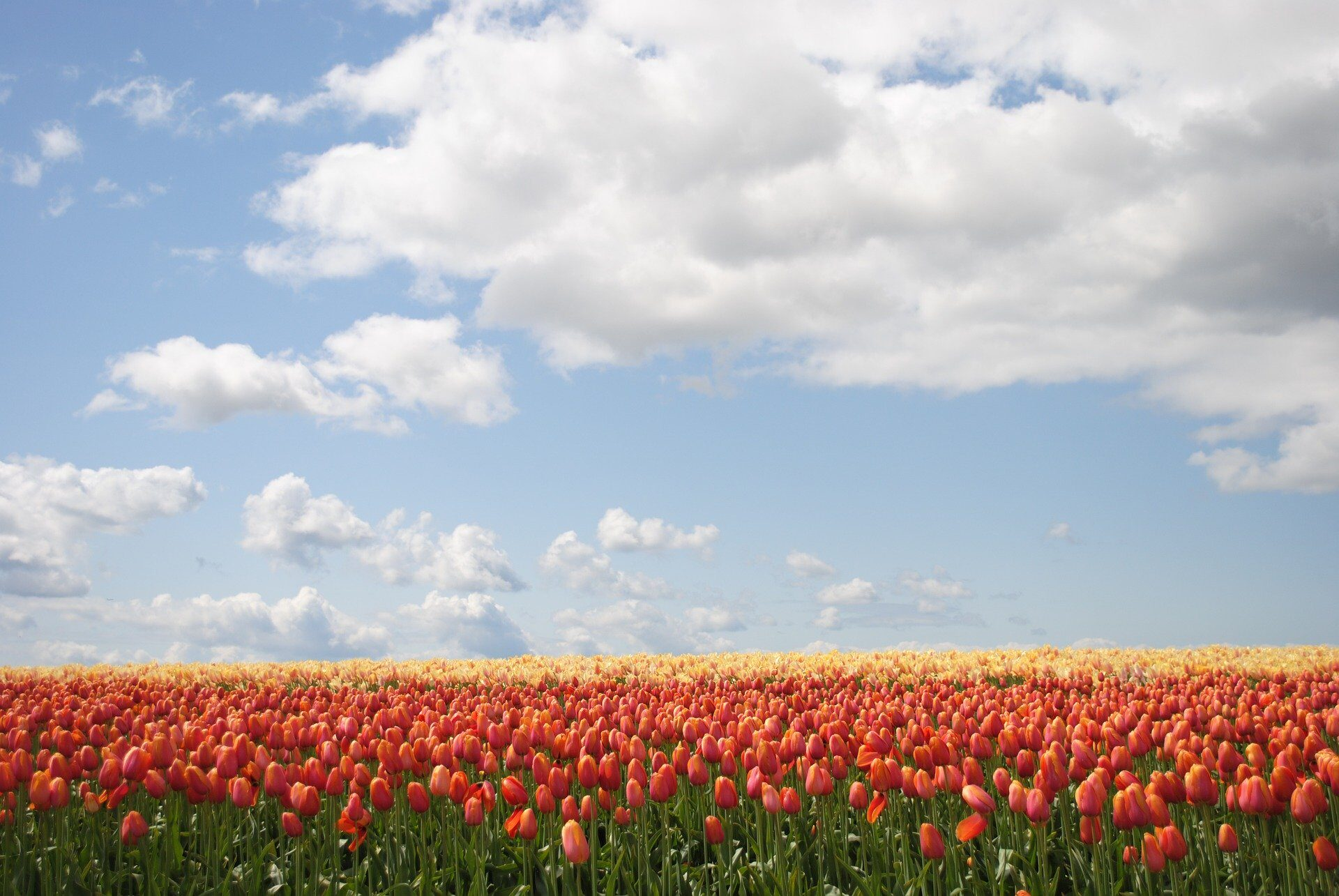 A tulip field in Holland - one of the sites you'll see in the This is Holldan 5D experience - a great way to spend an evening in Amsterdam Noord.