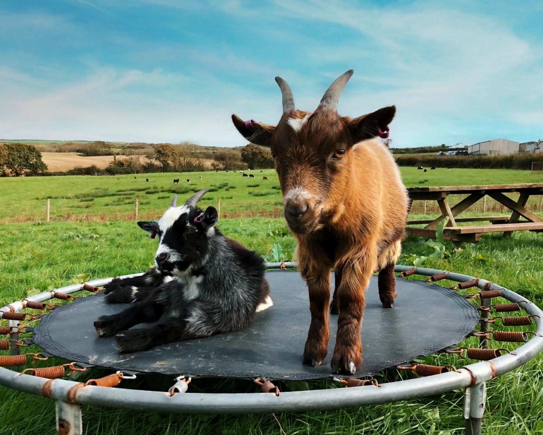 Court Farm Holidays Animal Field Goats