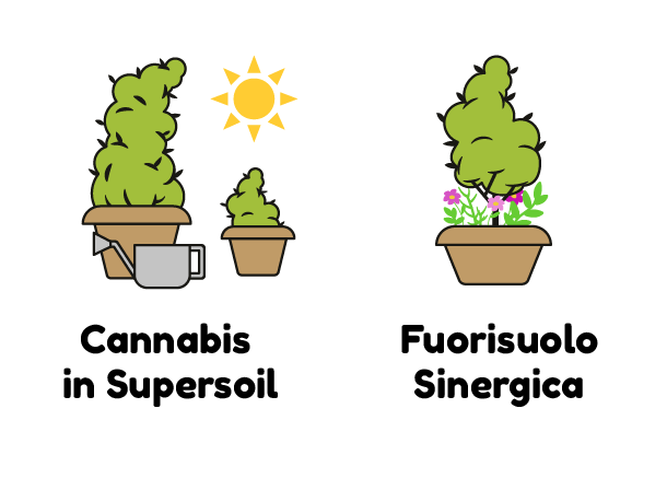 CANNABIS IN SUPERSOIL FUORISUOLO SINERGICA