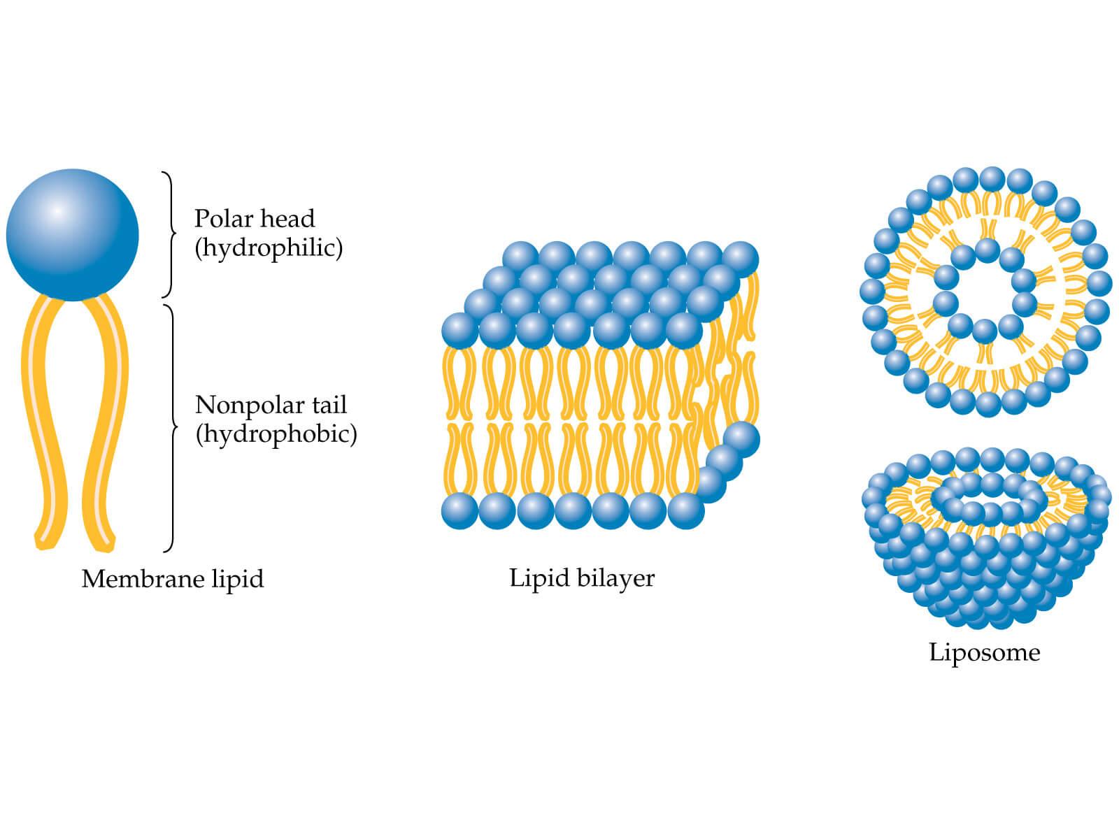 phospholipids for drug delivery