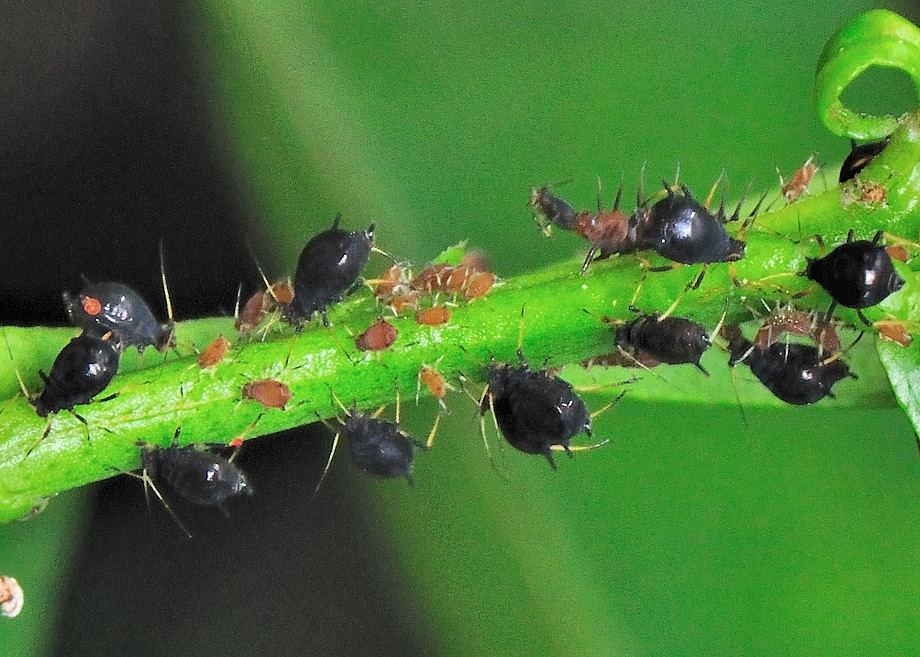 black-citrus-aphid-2
