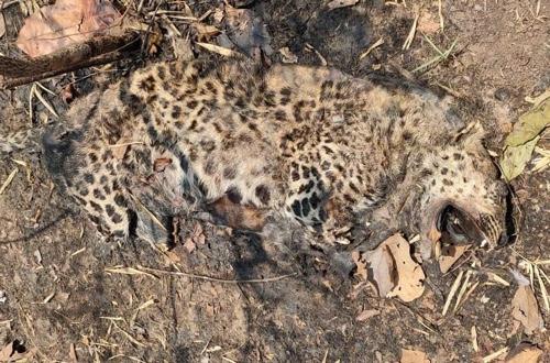 मृत मवेशी पर जहर डालकर तेंदुए की हत्या आरोपी किसान हिरासत में