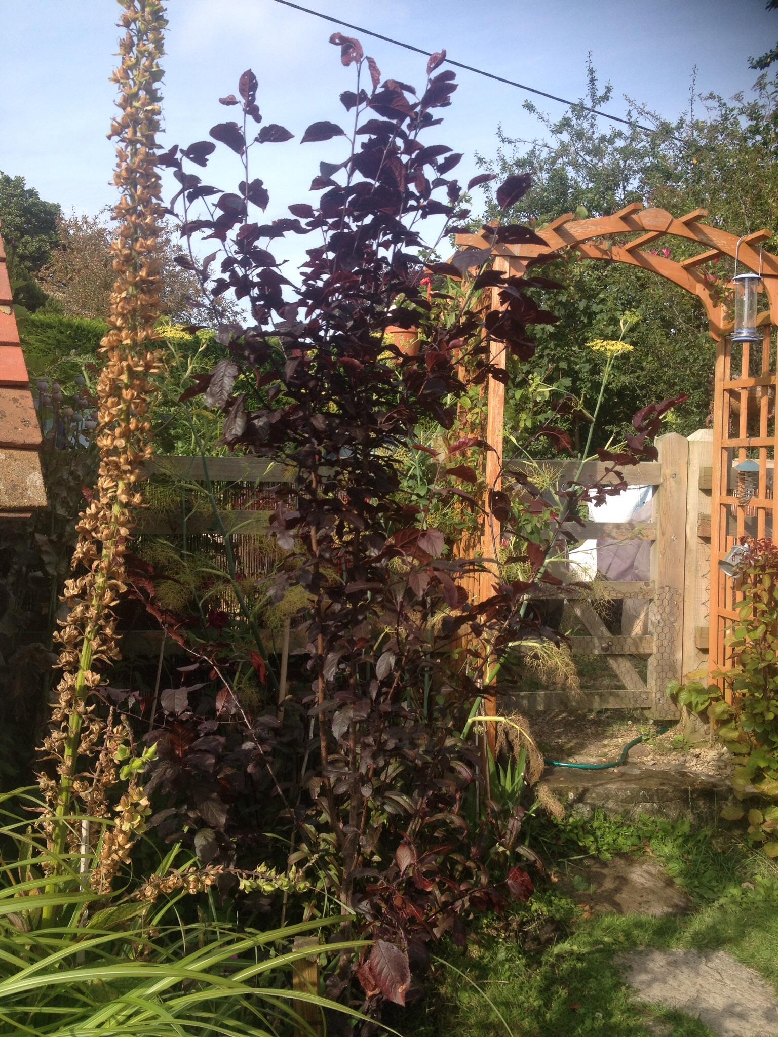 Prunus Nigra new to the garden