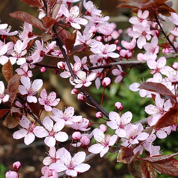 Prunus Nigra Spring Flowers