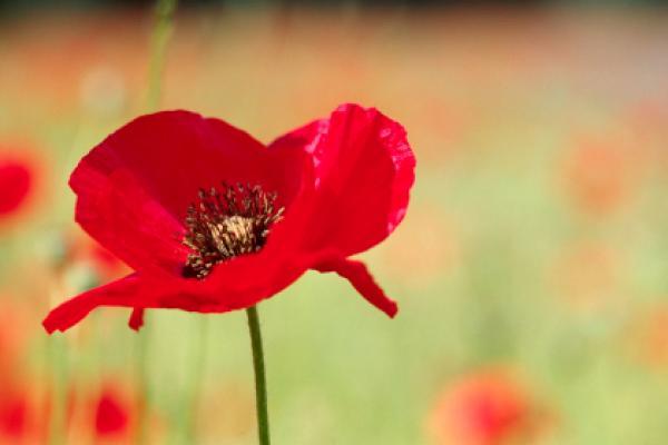remembrance-day-aus