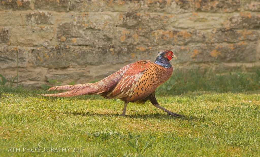 The common pheasant (Phasianus colchicus) is a bird in the pheasantfamily (Phasianidae). The genus name comes from Latin phasianus,