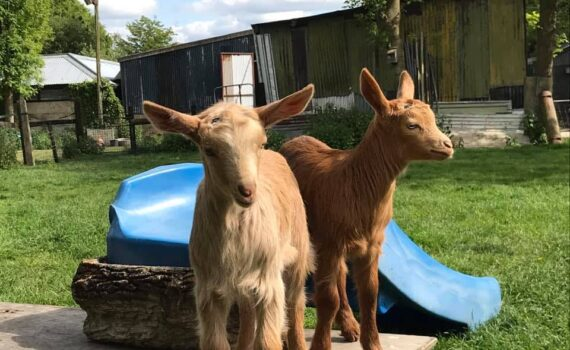 Freeman, Hardy & Willis the Eastleach Golden Guernseys