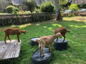 Freeman, Hardy & Willis the Eastleach Golden Guernseys