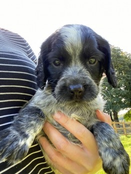 SPROCKERS SPANIELS STOLEN Sprocker Black And White, Black, Rhône (Age: Puppy) Missing from GL6 area, South West on Wednesday, 23rd September 2020 Our puppies have been stolen from our property 23/9 between 10:30 am and 1pm. They are Sprocker spaniels and there are 6 of them 1 Rhône male 3 black and white females 1 black female 1 black male. They are 5 weeks old