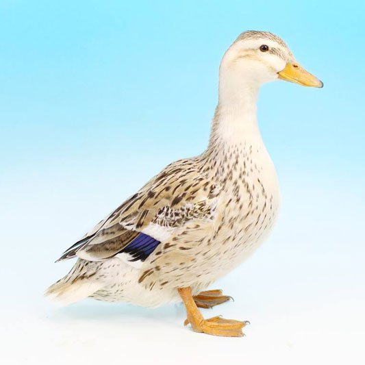 The Silver Appleyard duck bred by the famous Reginald Appleyard is famous not only for its egg laying ability but also for its beauty. But until 1980 it did not have a miniature equivalent. Well known waterfowl breeder, Tom Bartlett changed all that by developing this breed in 1980 and it weights one third of the original breed. The miniature is not to be confused with the Silver Bantam which was developed by Reginald Appleyard. The two breeds have been standardised separately. The Silver Appleyard Miniature was taken up with some enthusiasm by breeders and exhibitors for its sheer beauty and it shines on an exhibition bench. It's also popular abroad.