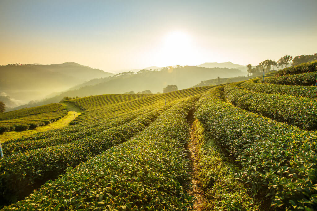 A landscape picture of sunrise over a tea plantation